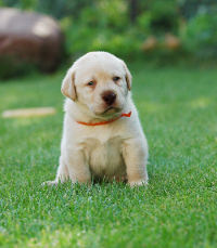 Labrador puppy sat on the grass